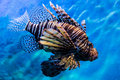 Lion fish in the water Royalty Free Stock Images