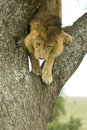 Lion going down a tree Stock Image