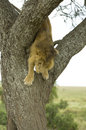 Lion going down a tree Royalty Free Stock Photo