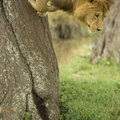 Lion going down a tree Royalty Free Stock Image
