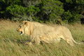 Lion in grass Royalty Free Stock Images