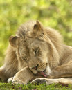 Lion Grooming Royalty Free Stock Photography