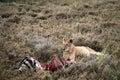 Lion Guarding Zebra Kill Royalty Free Stock Photo