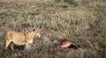 Lion Guards Zebra Kill Royalty Free Stock Photo