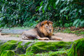 Lion having rest Stock Photo