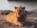 Lion having a rest young male Royalty Free Stock Image