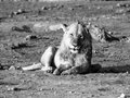 Lion having a rest young male black and white Royalty Free Stock Photography