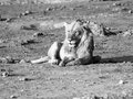 Lion having a rest young male in the evening Royalty Free Stock Photography