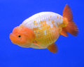 Lion head goldfish on blue background Royalty Free Stock Photo