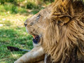 Lion head profile Royalty Free Stock Photo