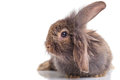 Lion head rabbit bunny lying on isolated background.