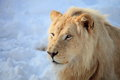 Lion head is sitting on snow Royalty Free Stock Image
