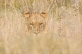 Lion hiding in the grass Royalty Free Stock Photo