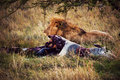 Lion and his prey on savanna, Serengeti, Africa Royalty Free Stock Photo