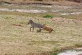 Lion hunts a Zebra Royalty Free Stock Photo