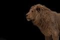 Lion isolated on black Royalty Free Stock Photo