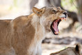 Lion Jaws - Okavango Delta - Moremi N.P. Royalty Free Stock Photo