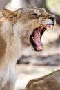 Lion Jaws - Okavango Delta - Moremi N.P. Royalty Free Stock Photo