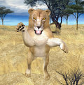 Lion jumping Stock Image