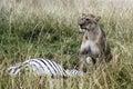 Lion Kill Royalty Free Stock Photo