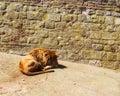 Lion king animal resting Fotografia Stock Libera da Diritti