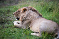 Lion the king in the savannah of africa Stock Photos