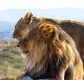Lion King of the wild Stock Photos