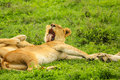 Lion licking clean Royalty Free Stock Photo