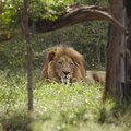 Lion lies in shade of tree Royalty Free Stock Images