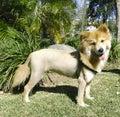 Lion like dog Royalty Free Stock Images