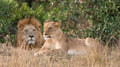 Lion and lioness a guards his from the shadows Royalty Free Stock Photo