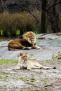 Lion and Lioness laying together Stock Images