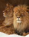 Lion and lioness relaxing Royalty Free Stock Image