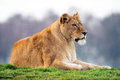 Lion lioness resting on a grassy crest Stock Images