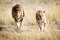 Lion and Lioness Walking Towards Camera Royalty Free Stock Photo