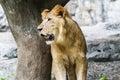 Lion look dans le zoo de chiangmai thaïlande Images stock