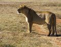 Lion looking for food in plains Royalty Free Stock Photo