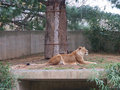 Lion is lying down and sleeping Royalty Free Stock Photo