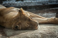 Lion lying down in sun female eyes closed on rocky surface at zoo closeup Royalty Free Stock Photography