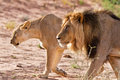 Lion male and lioness hunting in the kgalagadi sand Stock Photography