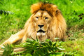 Lion Male. Panthera Leo.