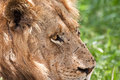 Lion male portrait Royalty Free Stock Image