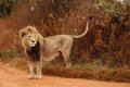 Lion male wild on an african reserve Stock Image