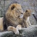 Lion male and young latin name panthera leo Royalty Free Stock Photo