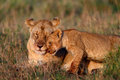 Lion mother with cub Royalty Free Stock Photo