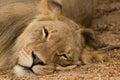 Lion Napping in the Kalahari