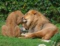 Lion is a genus Panthera,