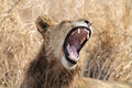 Lion with open mouth roaring a showing us a fine set of teeth taken in the kruger national park south africa Royalty Free Stock Photos
