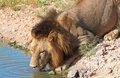 Lion (panthera leo) drinking water Stock Image