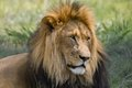 Lion panthera leo in kruger national park south africa Royalty Free Stock Image